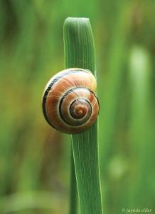 snailgrass